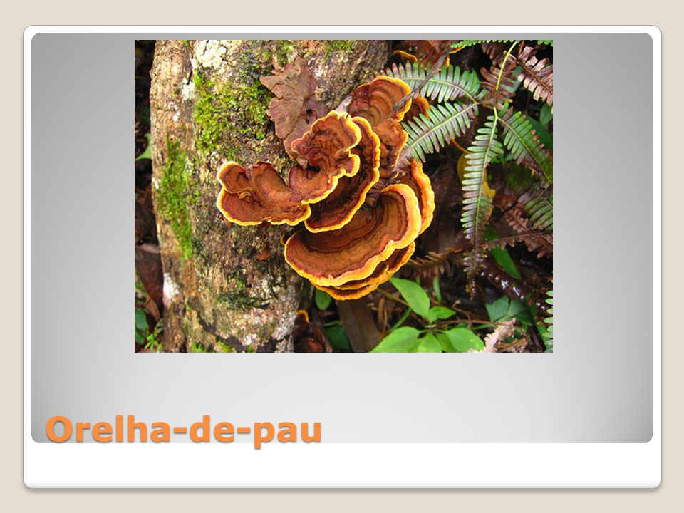 Orelha-de-pau