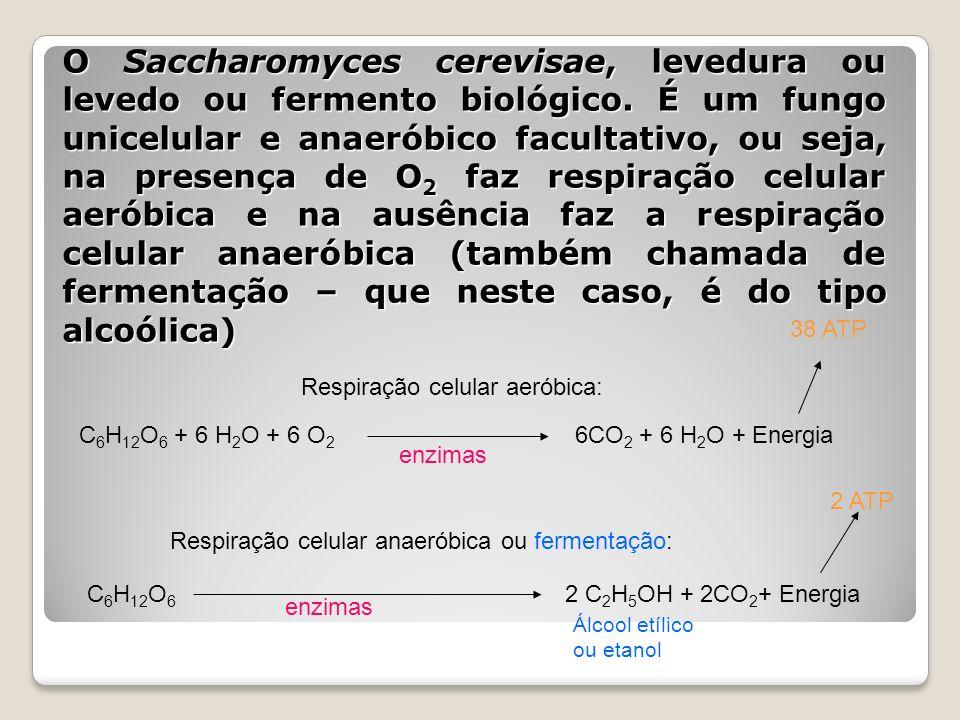 O Saccharomyces cerevisae, levedura ou levedo ou fermento biológico