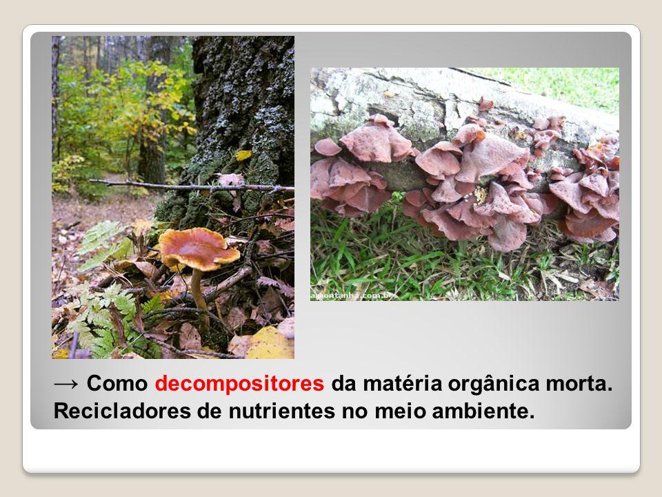 → Como decompositores da matéria orgânica morta