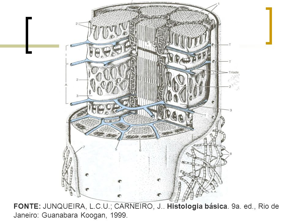 FONTE: JUNQUEIRA, L. C. U. ; CARNEIRO, J. Histologia básica. 9a. ed