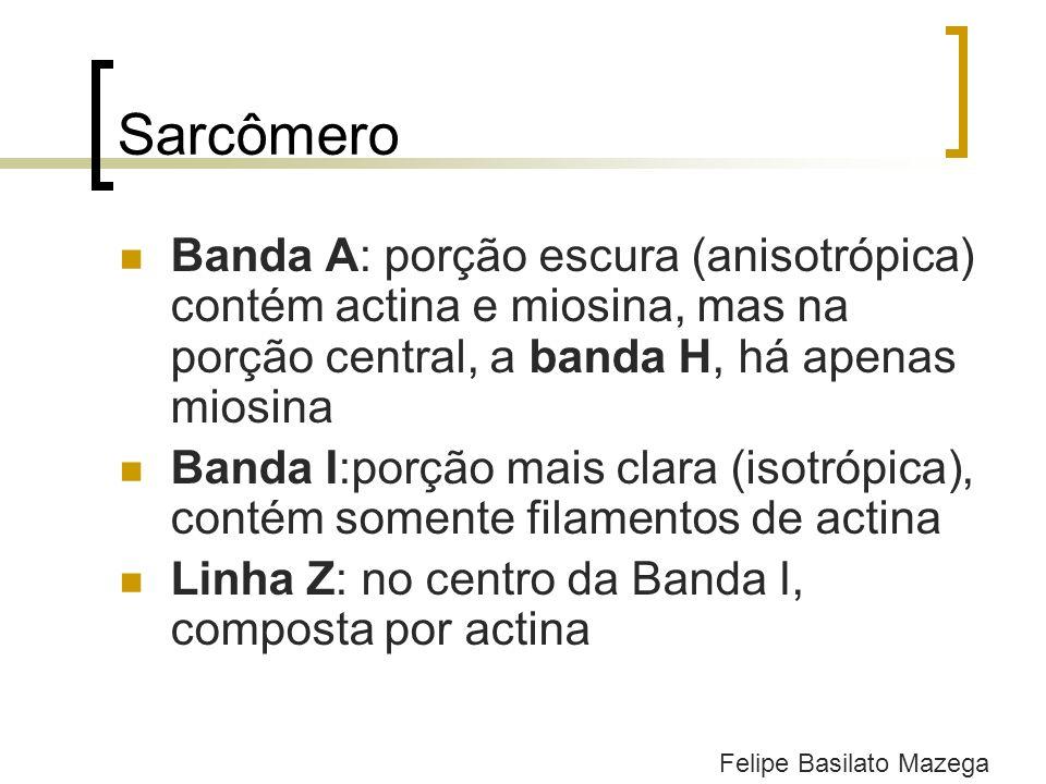 Sarcômero Banda A: porção escura (anisotrópica) contém actina e miosina, mas na porção central, a banda H, há apenas miosina.