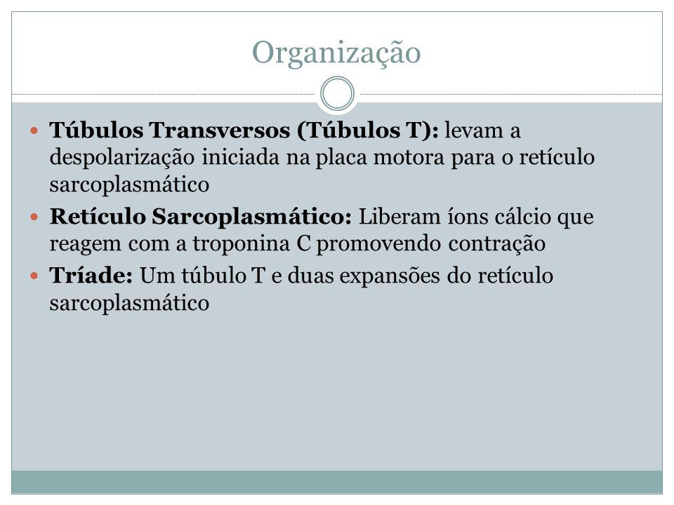 Organização Túbulos Transversos (Túbulos T): levam a despolarização iniciada na placa motora para o retículo sarcoplasmático.