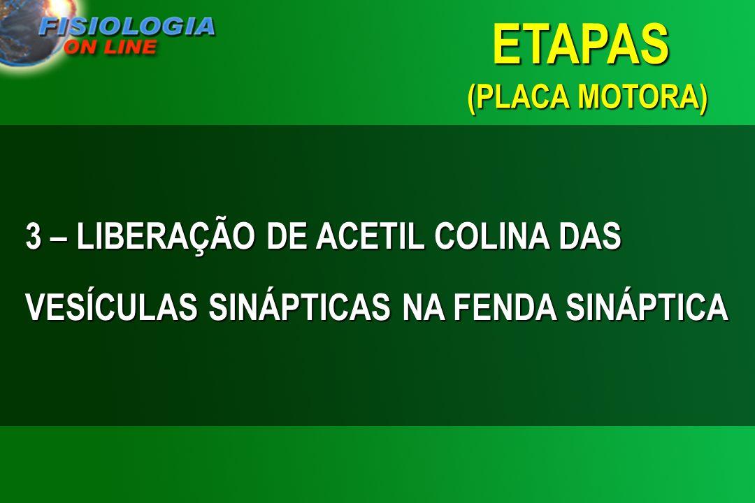 ETAPAS (PLACA MOTORA) 3 – LIBERAÇÃO DE ACETIL COLINA DAS VESÍCULAS SINÁPTICAS NA FENDA SINÁPTICA