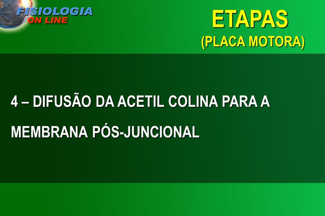 ETAPAS (PLACA MOTORA) 4 – DIFUSÃO DA ACETIL COLINA PARA A MEMBRANA PÓS-JUNCIONAL
