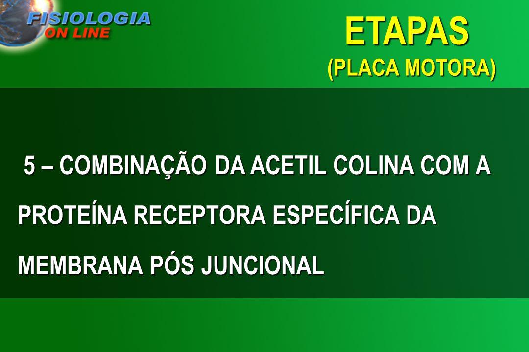 ETAPAS (PLACA MOTORA) 5 – COMBINAÇÃO DA ACETIL COLINA COM A PROTEÍNA RECEPTORA ESPECÍFICA DA MEMBRANA PÓS JUNCIONAL.