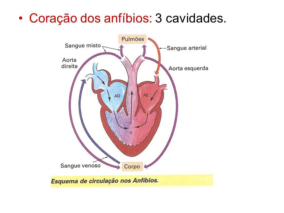 Coração dos anfíbios: 3 cavidades.