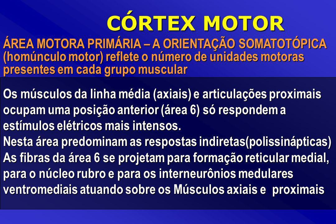 CÓRTEX MOTOR ÁREA MOTORA PRIMÁRIA – A ORIENTAÇÃO SOMATOTÓPICA (homúnculo motor) reflete o número de unidades motoras presentes em cada grupo muscular.