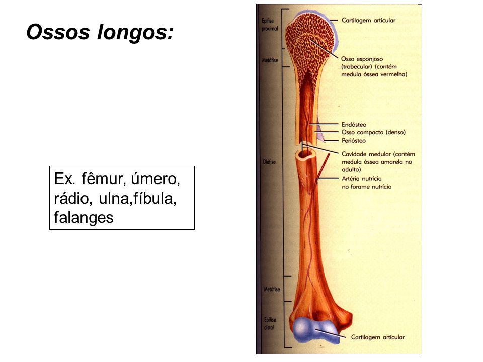 Ossos longos: Ex. fêmur, úmero, rádio, ulna,fíbula, falanges
