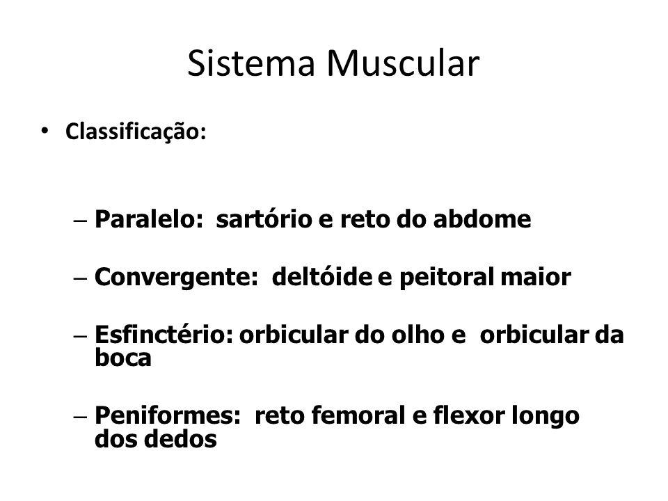 Sistema Muscular Classificação: Paralelo: sartório e reto do abdome