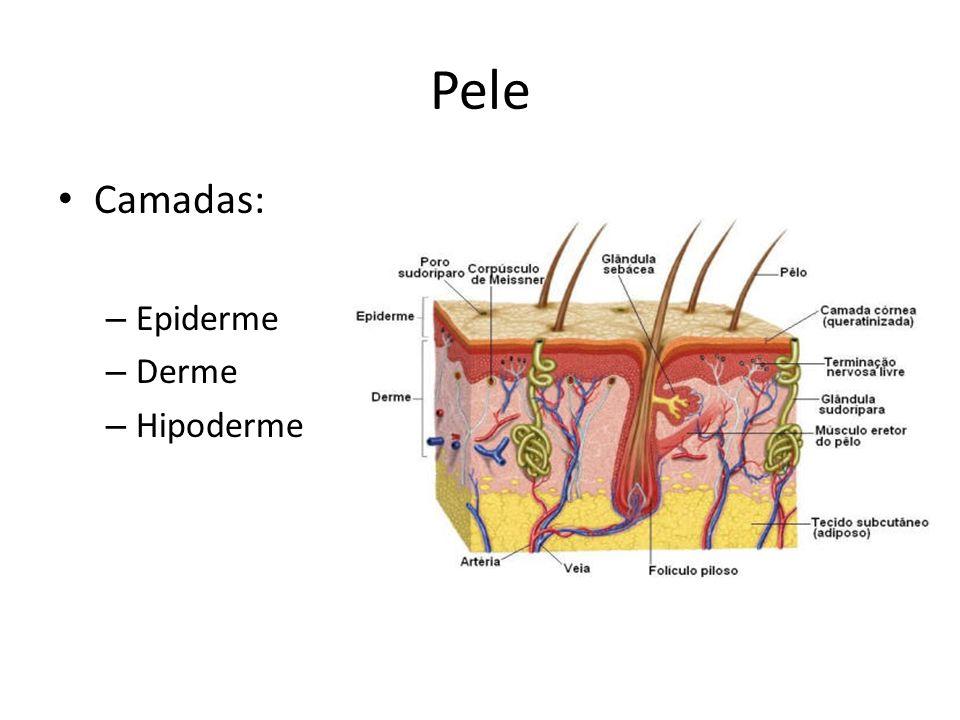 Pele Camadas: Epiderme Derme Hipoderme