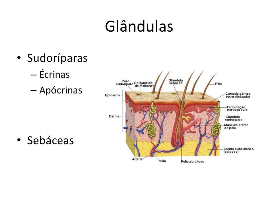 Glândulas Sudoríparas Écrinas Apócrinas Sebáceas