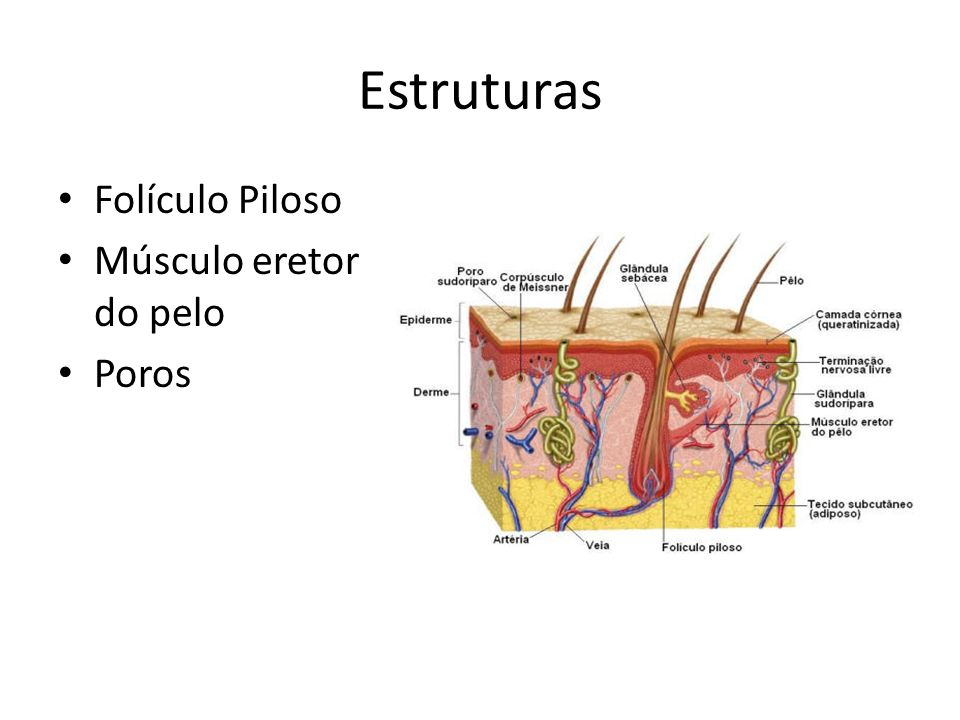 Estruturas Folículo Piloso Músculo eretor do pelo Poros