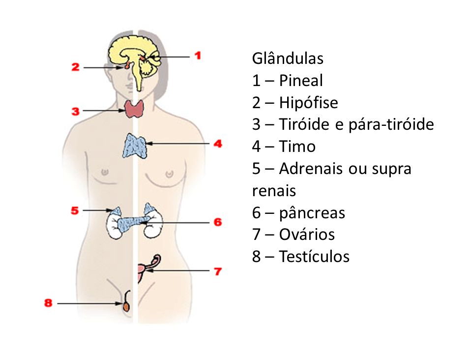 Glândulas 1 – Pineal. 2 – Hipófise. 3 – Tiróide e pára-tiróide. 4 – Timo. 5 – Adrenais ou supra renais.