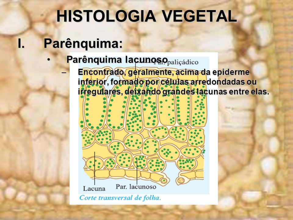 HISTOLOGIA VEGETAL Parênquima: Parênquima lacunoso