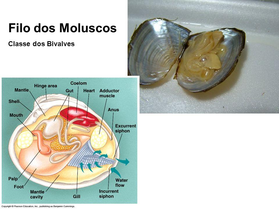 Filo dos Moluscos Classe dos Bivalves