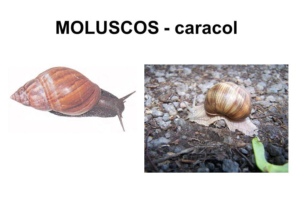 MOLUSCOS - caracol