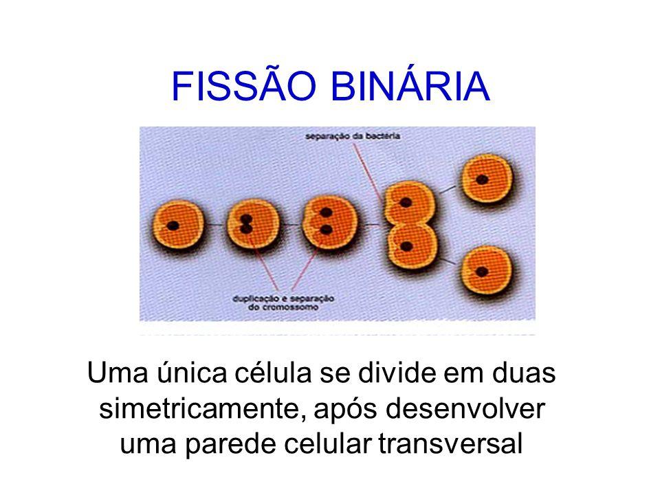 FISSÃO BINÁRIA Uma única célula se divide em duas