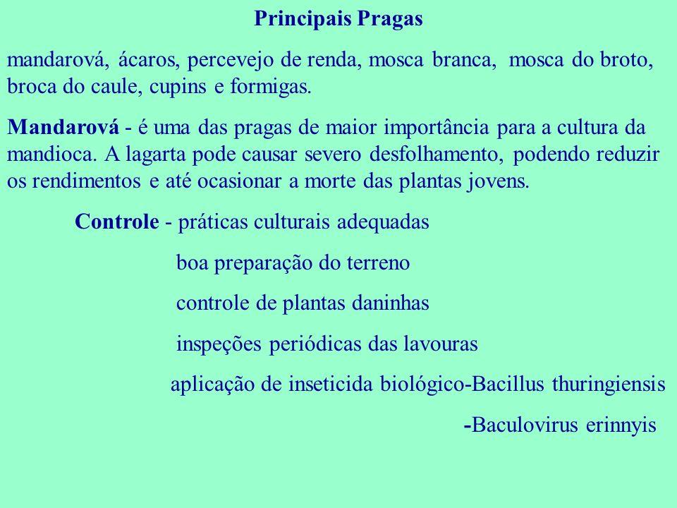 Principais Pragas mandarová, ácaros, percevejo de renda, mosca branca, mosca do broto, broca do caule, cupins e formigas.