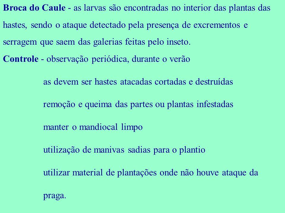 Broca do Caule - as larvas são encontradas no interior das plantas das