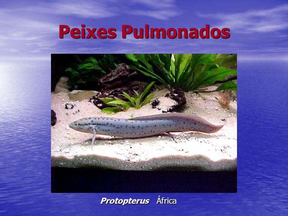 Peixes Pulmonados Protopterus África