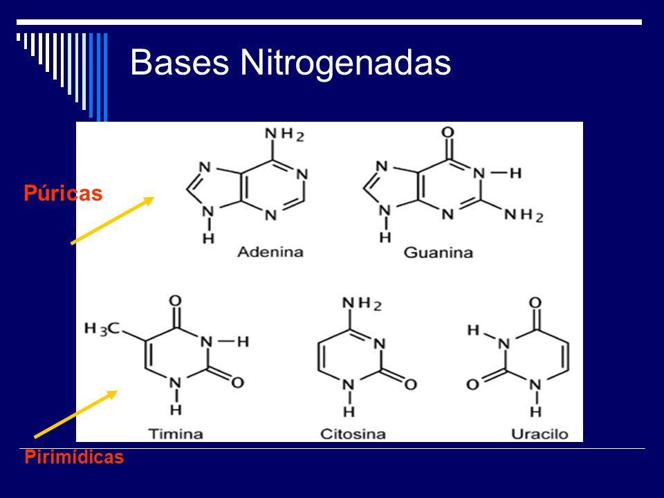 Bases Nitrogenadas Púricas Pirimídicas