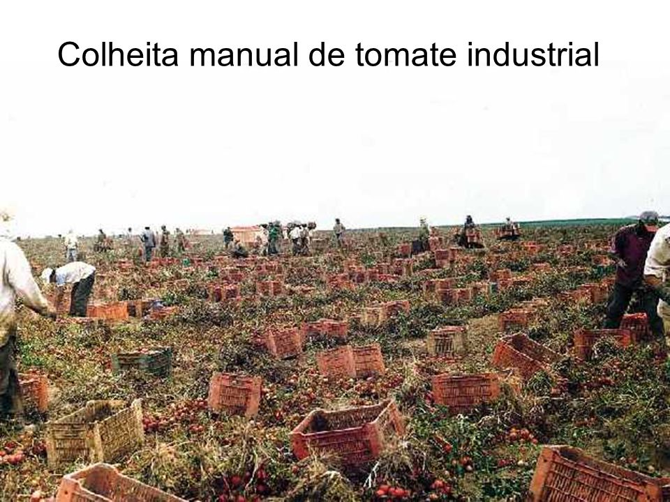 Colheita manual de tomate industrial