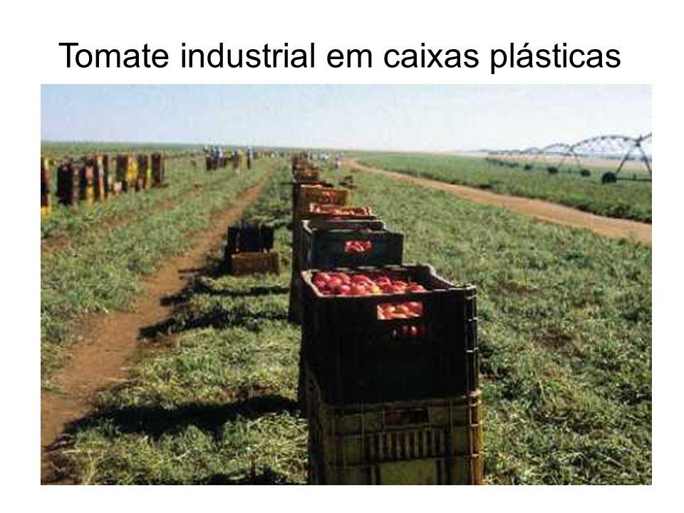 Tomate industrial em caixas plásticas