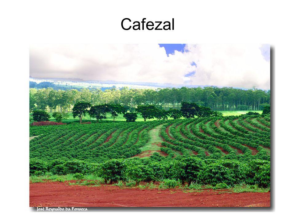 Cafezal