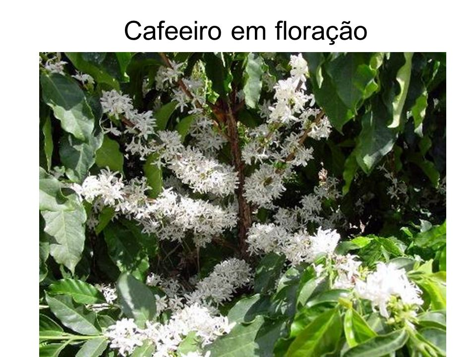 Cafeeiro em floração
