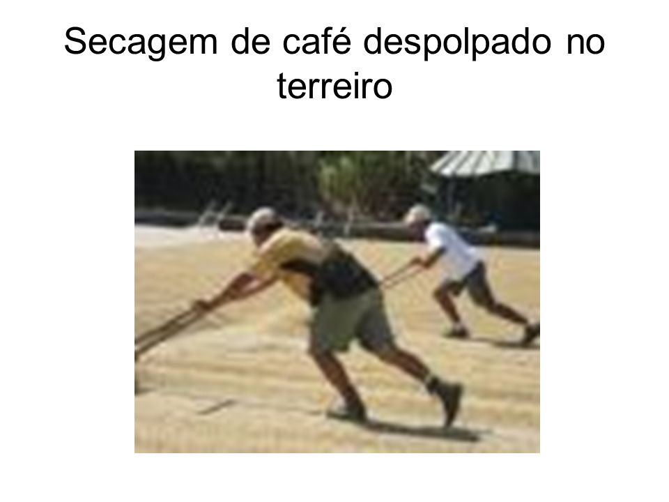Secagem de café despolpado no terreiro