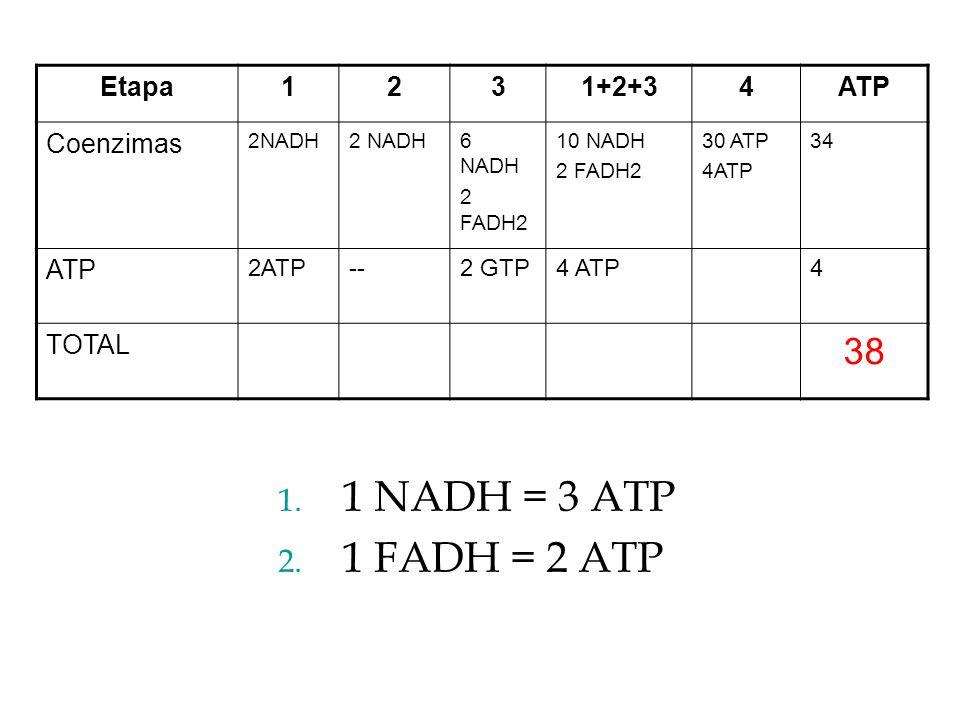 1 NADH = 3 ATP 1 FADH = 2 ATP 38 Etapa 1 2 3 1+2+3 4 ATP Coenzimas