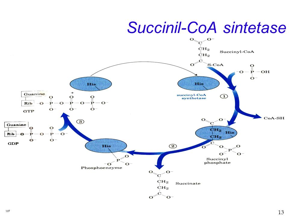 Succinil-CoA sintetase