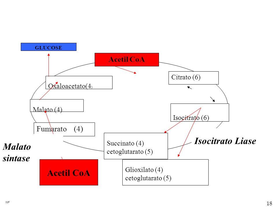 Isocitrato Liase Malato sintase Acetil CoA Acetil CoA Fumarato (4)
