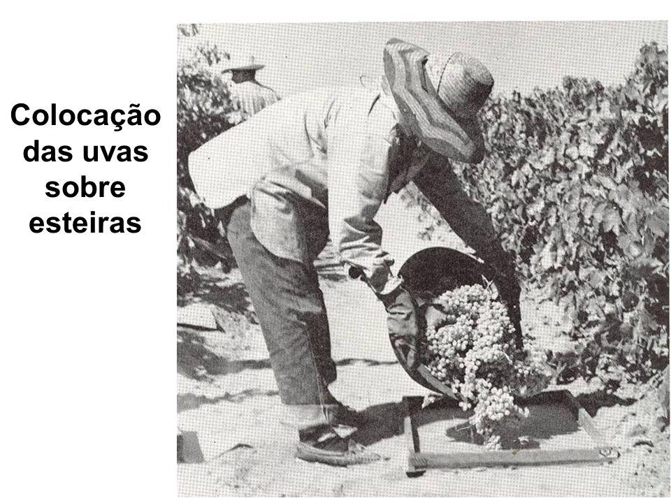 Colocação das uvas sobre esteiras