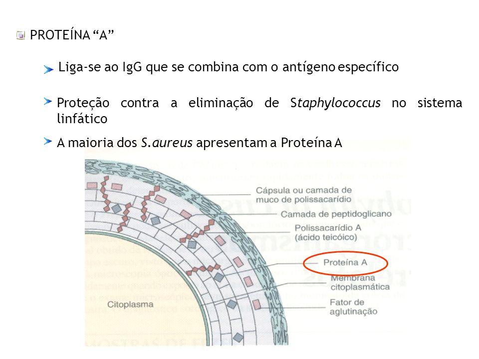 PROTEÍNA A Liga-se ao IgG que se combina com o antígeno específico. Proteção contra a eliminação de Staphylococcus no sistema linfático.
