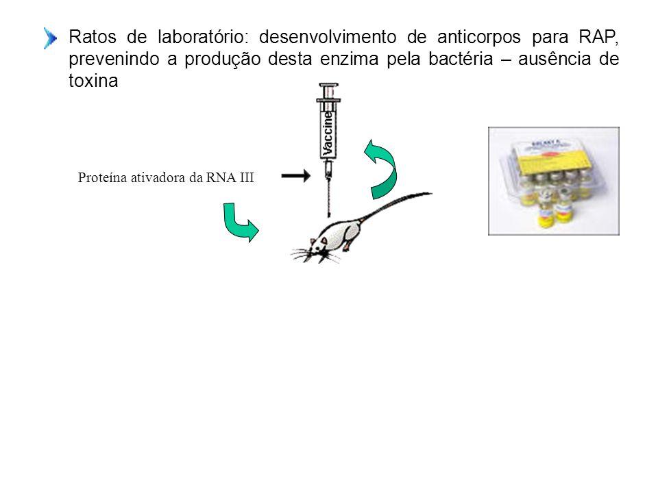 Ratos de laboratório: desenvolvimento de anticorpos para RAP, prevenindo a produção desta enzima pela bactéria – ausência de toxina