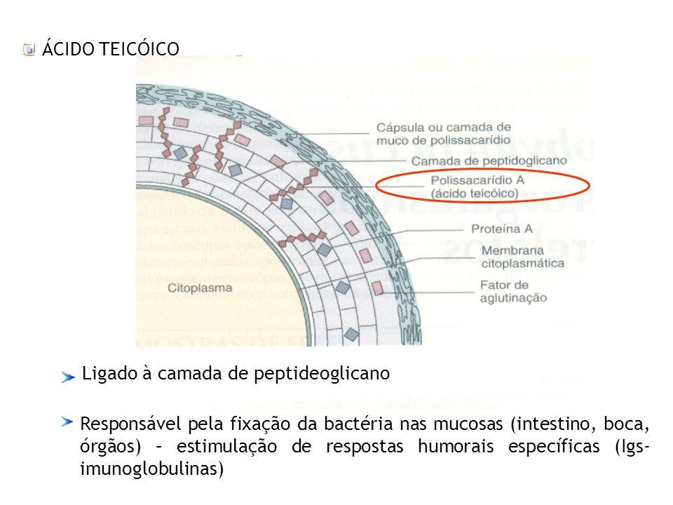 ÁCIDO TEICÓICO Ligado à camada de peptideoglicano.