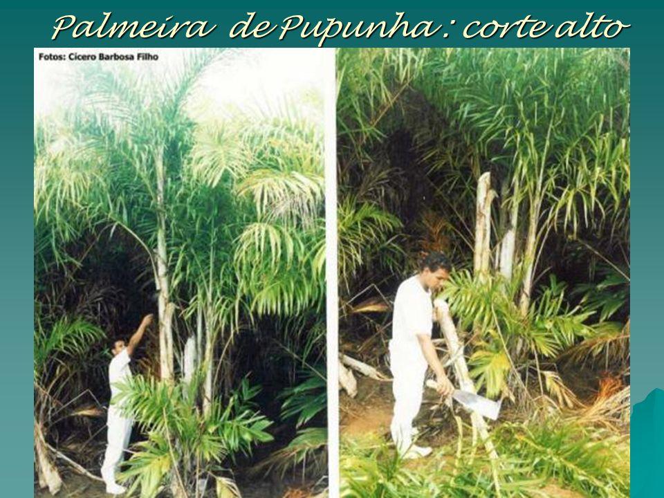 Palmeira de Pupunha : corte alto