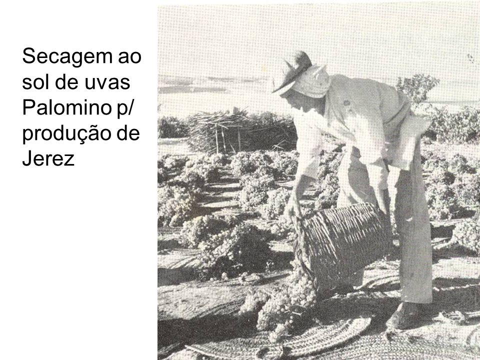 Secagem ao sol de uvas Palomino p/ produção de Jerez
