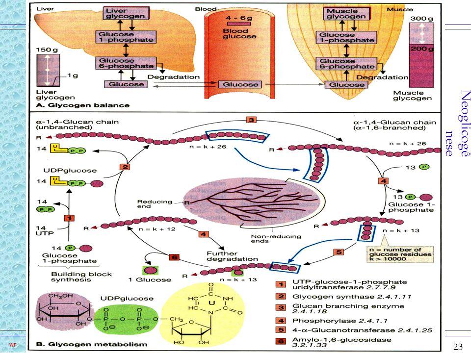 Neoglicogênese