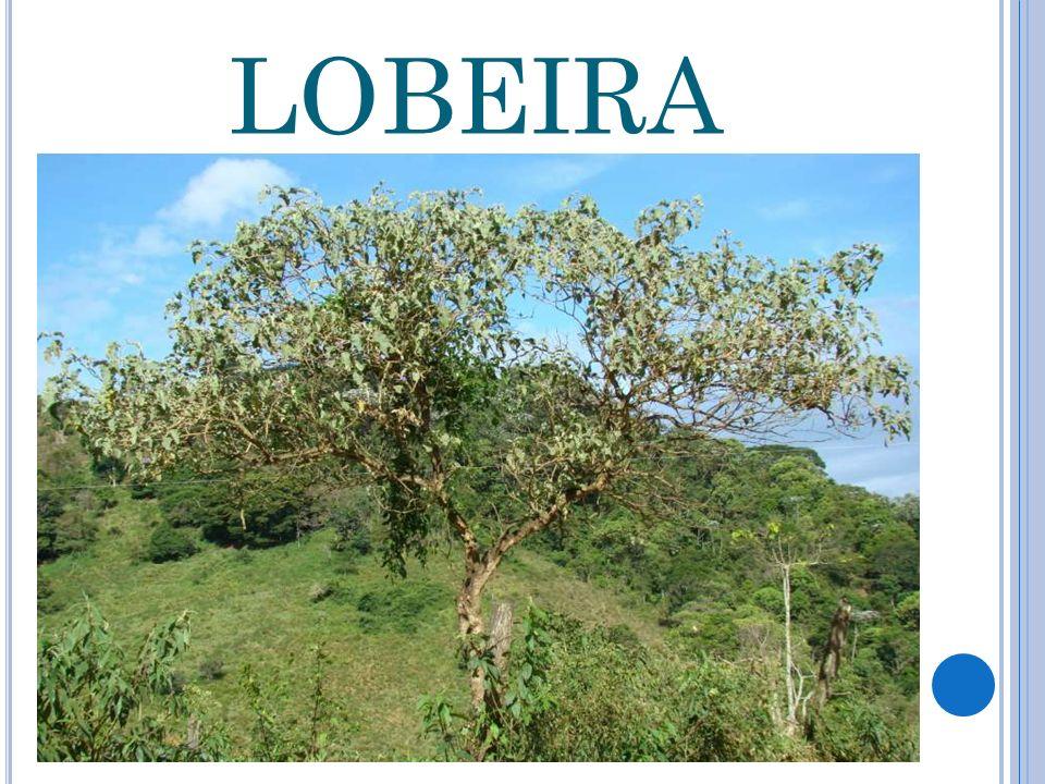 LOBEIRA
