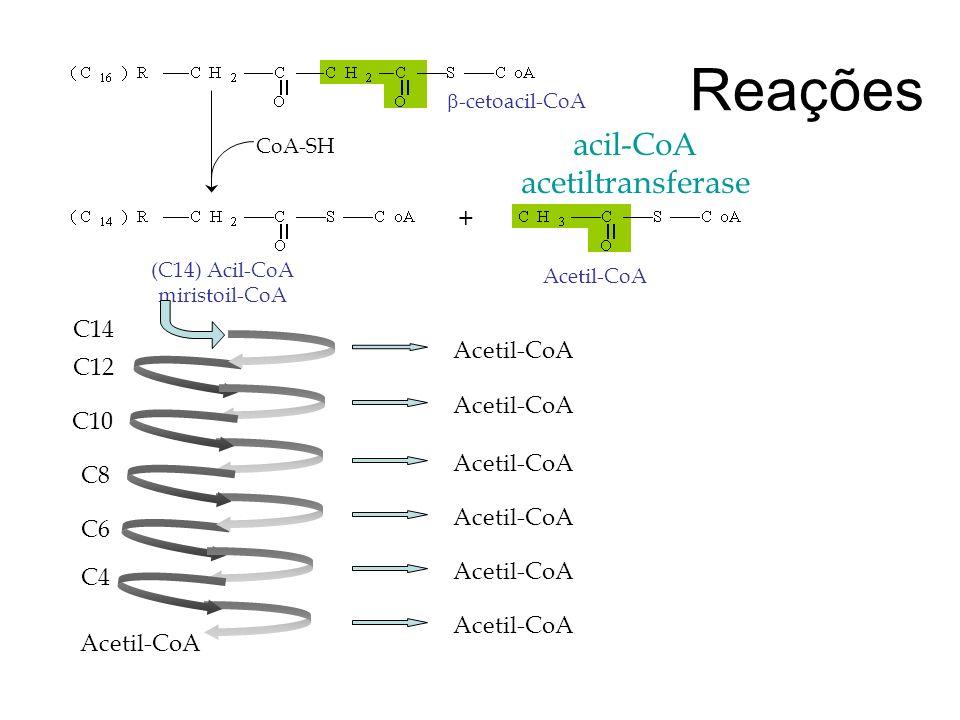 Reações acil-CoA acetiltransferase + C14 Acetil-CoA C12 Acetil-CoA C10