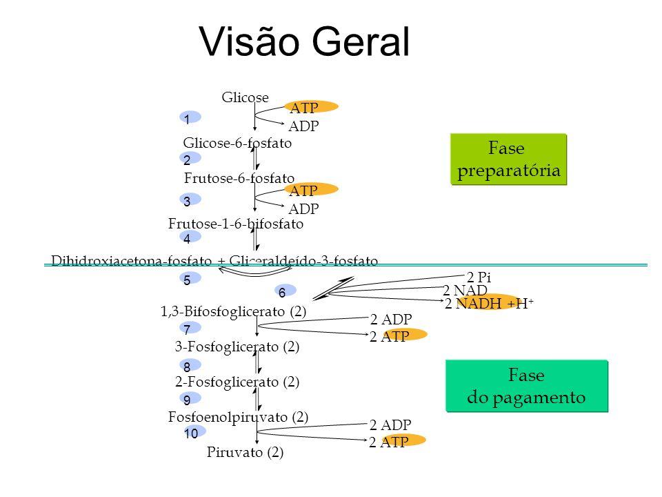 Visão Geral Fase preparatória Fase do pagamento Glicose ATP ADP