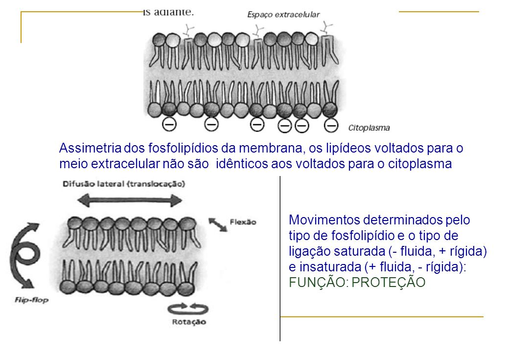 Assimetria dos fosfolipídios da membrana, os lipídeos voltados para o