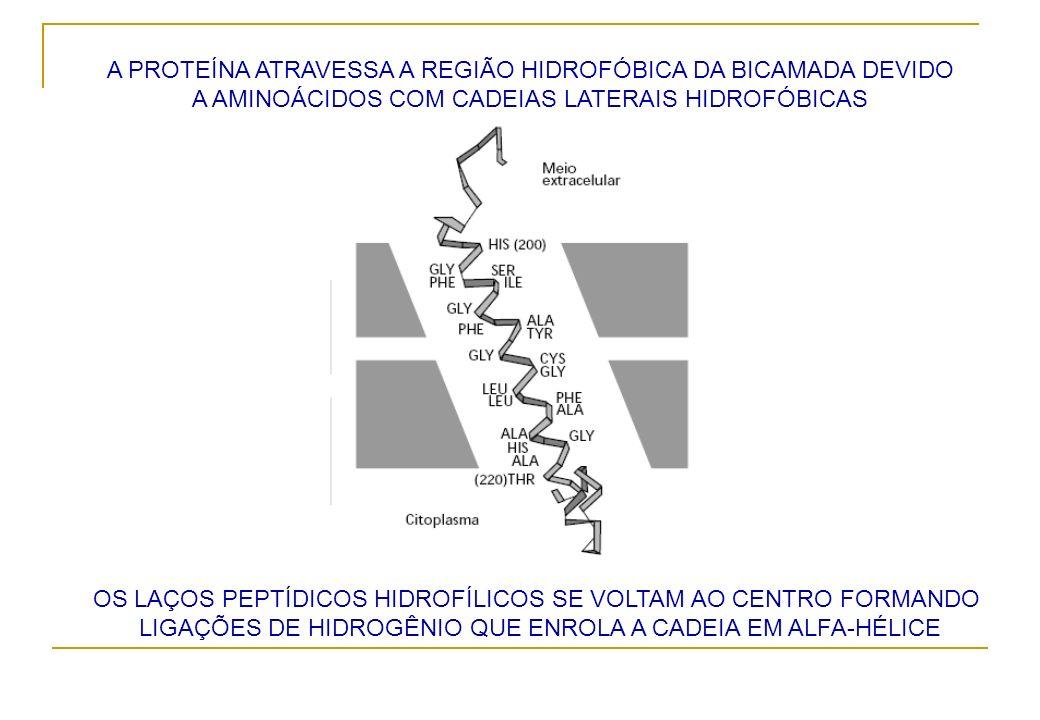 A PROTEÍNA ATRAVESSA A REGIÃO HIDROFÓBICA DA BICAMADA DEVIDO