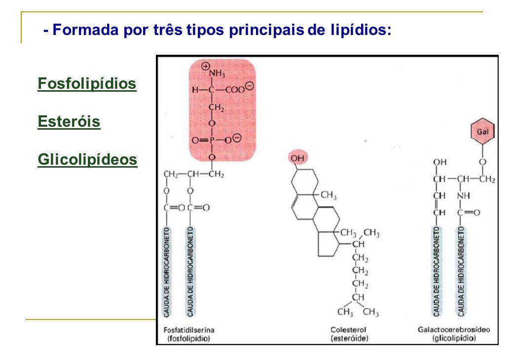 - Formada por três tipos principais de lipídios: