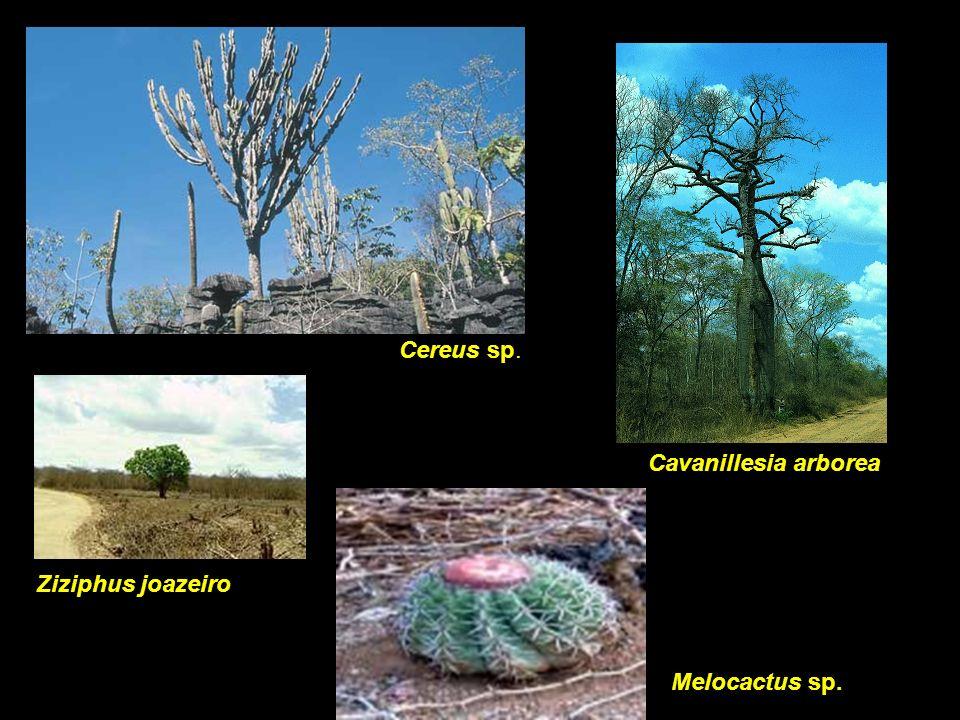 Cereus sp. Cavanillesia arborea Ziziphus joazeiro Melocactus sp.
