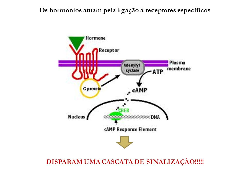 Os hormônios atuam pela ligação à receptores específicos