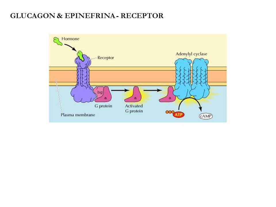 Glucagon & epinefrina - receptor