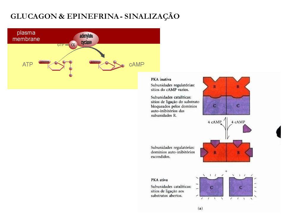 Glucagon & epinefrina - sinalização